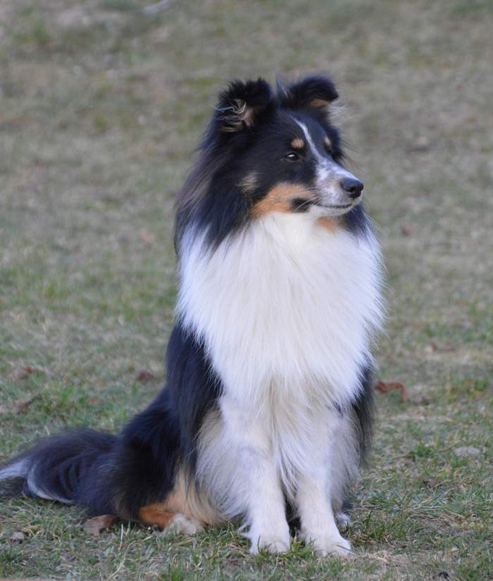 tricolor blue merle bi blue schwarz wei sable k rntnerland shelties. Black Bedroom Furniture Sets. Home Design Ideas